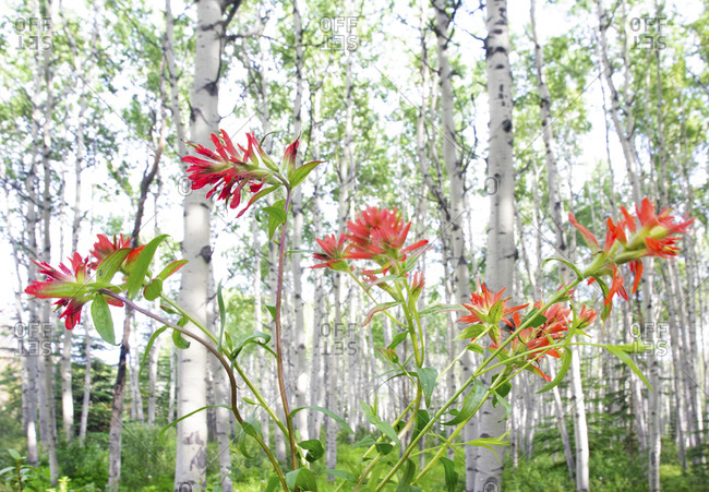 Indian paint brush flowers and silver birch trees in background, Jasper National Park, Alberta, Canada
