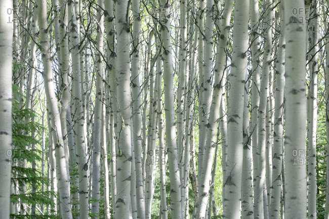 Dense silver birch trees in background at Jasper National Park, Alberta, Canada