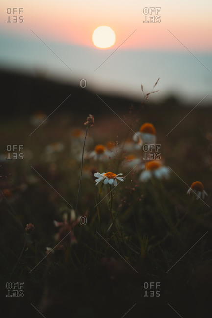Daisy flowers during a moody sunset