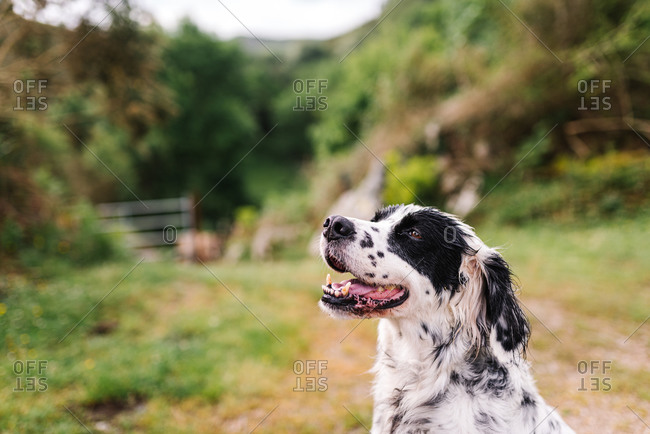 Adorable dog with black and white fur sitting on rural road in countryside and looking away