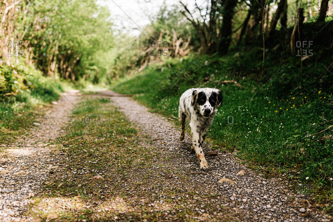 Adorable dog with black and white fur walking on rural path in countryside and looking at camera