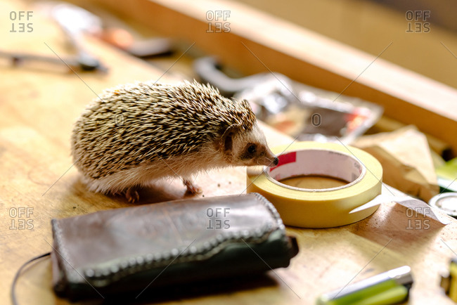 High angle side view of cute hedgehog sitting on wooden table with various instruments in workshop