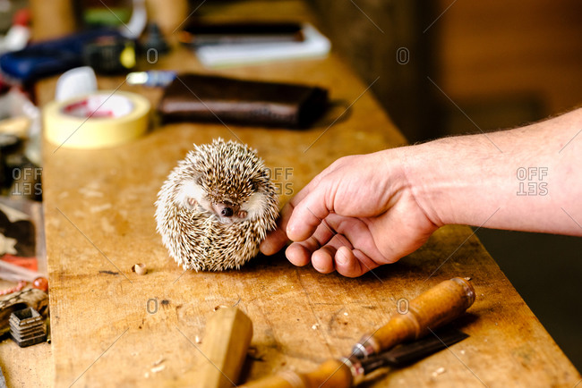 Anonymous male caressing cute hedgehog curled up into spiny ball on wooden table in workshop