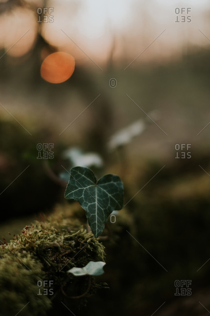 Small green leaf of ivy plant growing on mossy tree trunk in park during sunset
