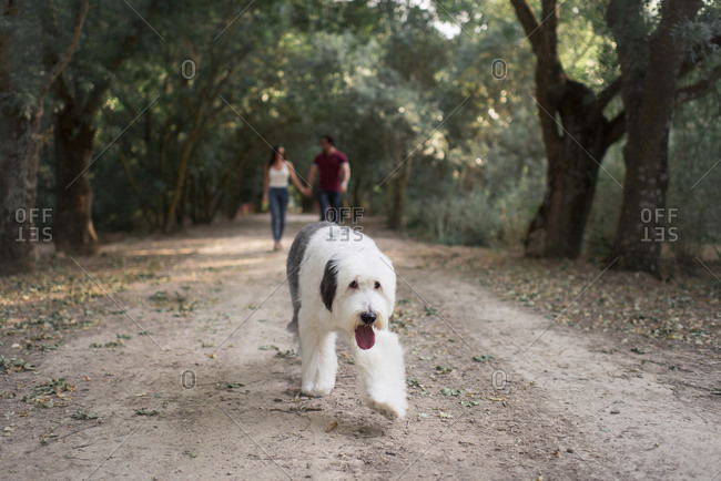 Tender happy couple holding hands while walking with Old English Sheepdog in garden on sunny day