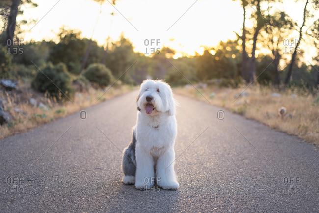 Adorable Old English Sheepdog sitting on asphalt roadway on background of majestic sundown
