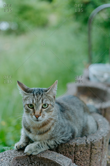 Adorable curious European Shorthair cat resting on stone surface against blurred green nature background on summer day