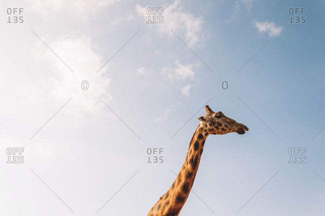 Giraffe grazing under blue sky