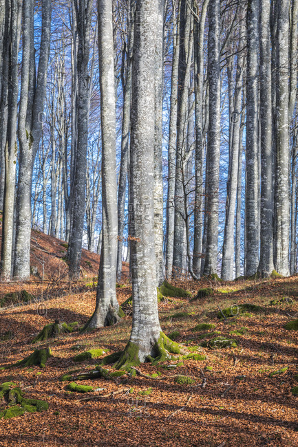 Beech forest in winter with bare trees, cansiglio plateau, province of Treviso, Veneto, Italy