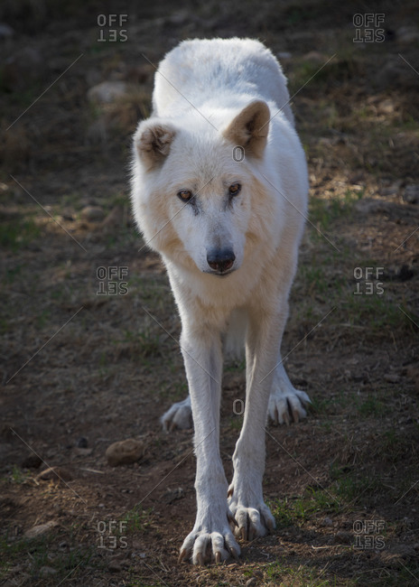 Alaska Tundra Wolf in the Lobo Park research enclosure, Antequera, Andalusia, Spain