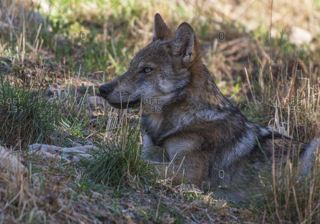 Iberian wolf in the Lobo Park research enclosure, Antequera, Andalusia, Spain