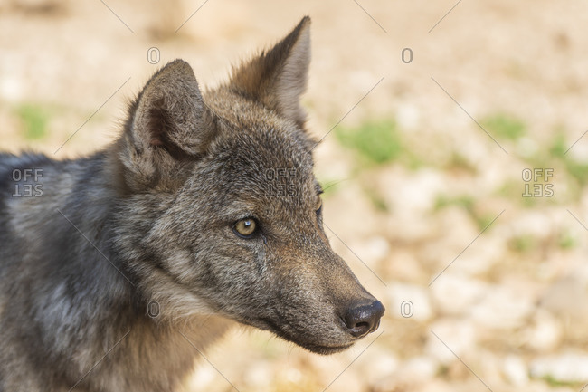 Iberian wolf photographed in the Lobo Park research enclosure, Antequera, Andalusia, Spain
