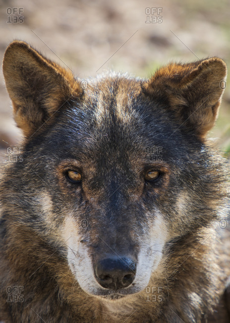 Wolf in research enclosure, Antequera, Andalusia, Spain