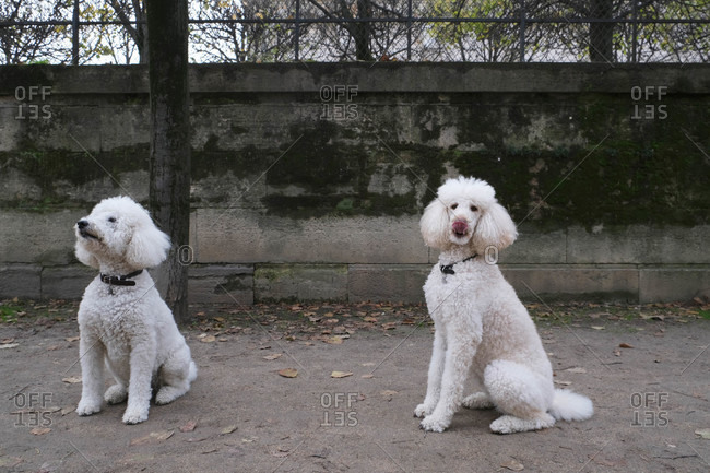 Two white poodles sitting outdoors