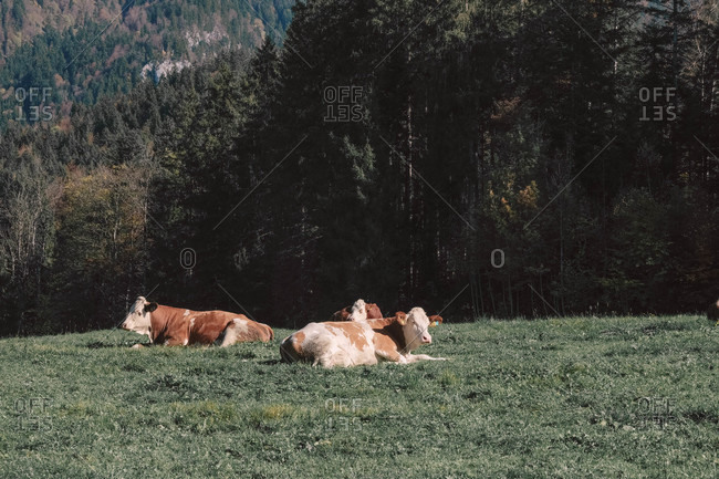 Cows resting in the meadow