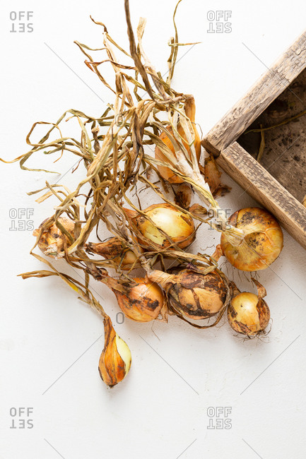 Onion roots on light surface