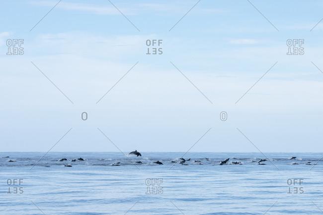 Orcas hunting dolphins at Espiritu Santo Island in Baja California