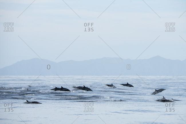 A group of common dolphins jumping near Espiritu Santo Island.