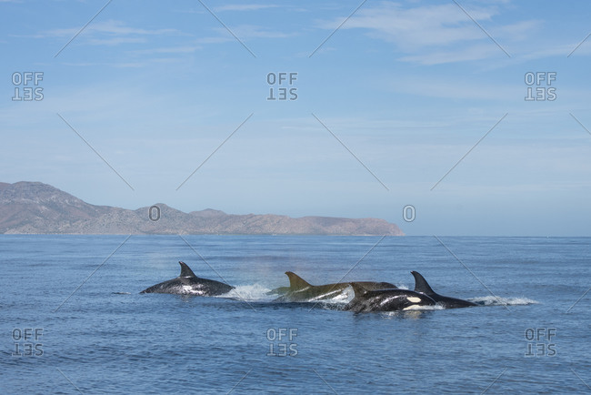 A group of orcas swimming near Espiritu Santo Island.