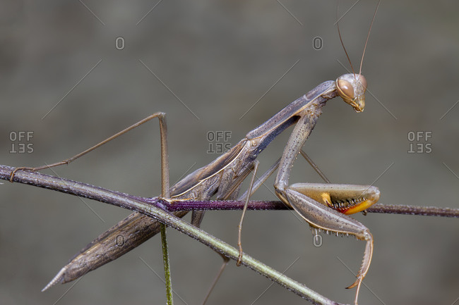 Grey green mantis religiosa mantidae posing on a branch