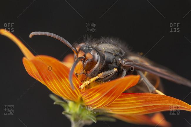 Real Vespa Velutina or Asian wasp Macro