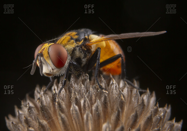 Little orange fly with beautiful eyes posing on a plant