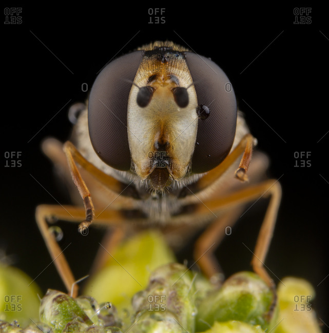 Macro portrait of fly diptera close up with bkack background