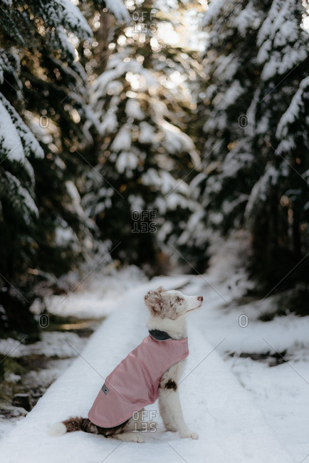 Border Collie puppy with snow jacket