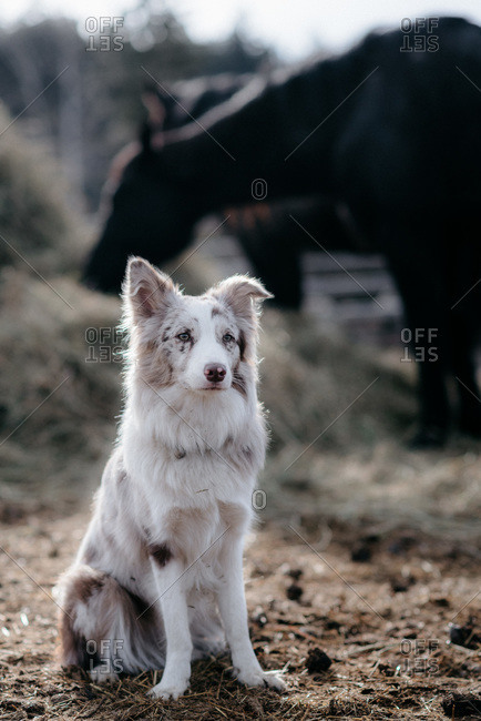 Red Merel Border Collie herding on the ranch