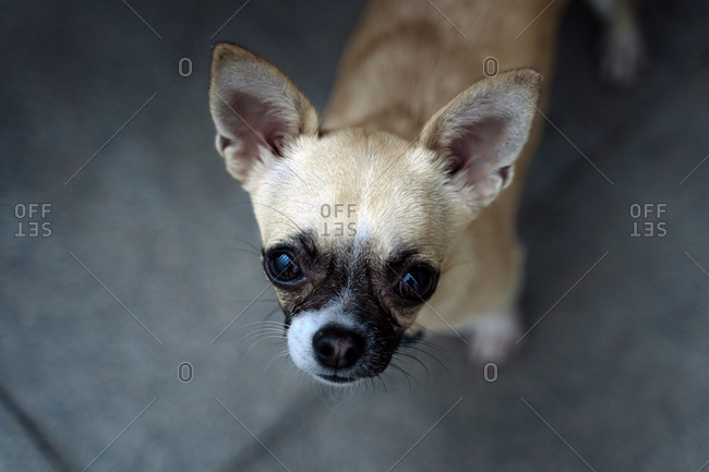 Close-up of a pedigree dog, of the breed Chihuahua