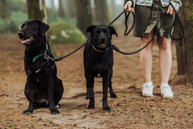 Low section of woman with two black Labrador dogs on a leash in forest