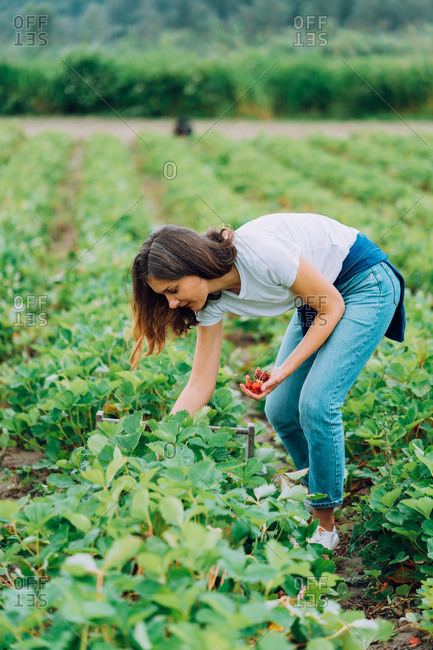 Woman picking strawberries at a u-pick farm in Washington