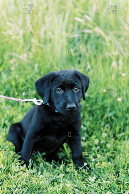 A two month old black Labrador after a run in a field