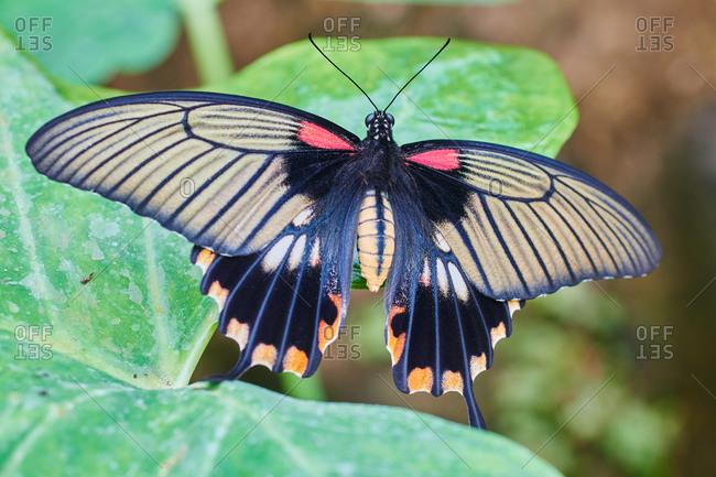 a Butterfly Papillo memnon tropical