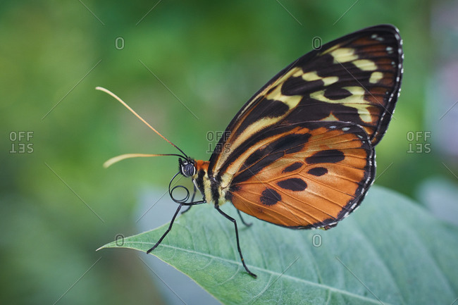 a Hecale Butterfly mariposa macro
