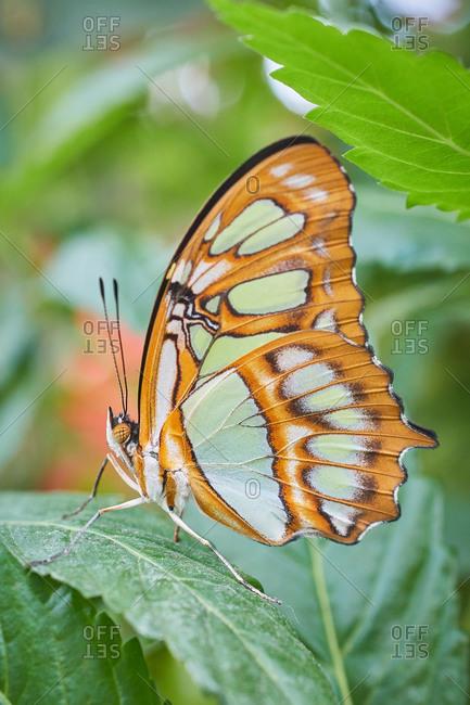 Butterfly Sipreta Stelenes Camuflada Verde