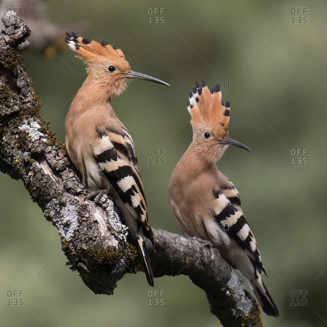 pair of woodpeckers on a log