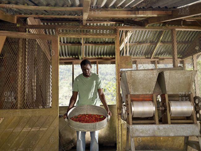 Worker sorting and processing coffee berries on coffee farm in the Blue Mountains, Jamaica.