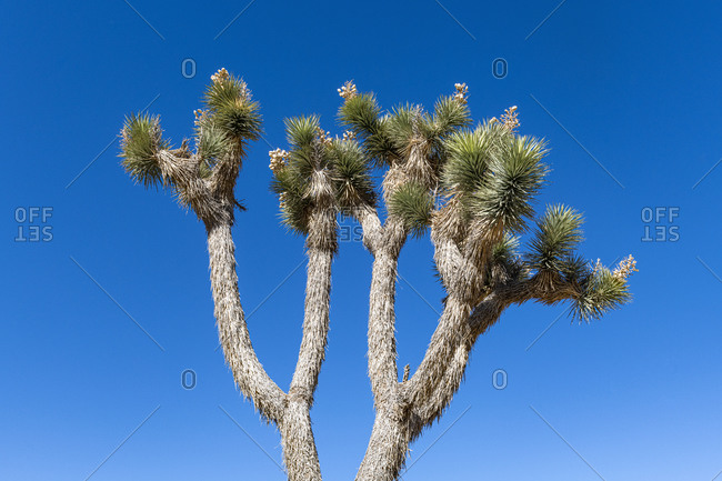 Joshua tree (Yucca Brevifolia) growing against clear blue sky
