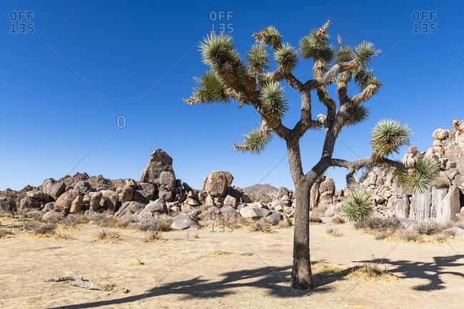 USA- California- Joshua tree (Yucca Brevifolia) in Joshua Tree National Park