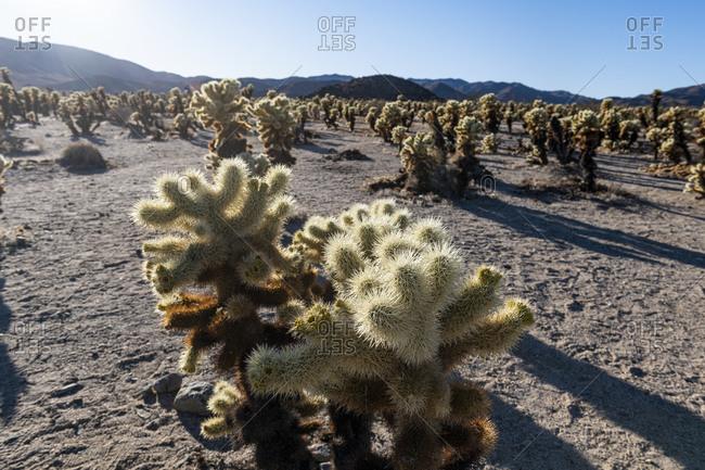 USA- California- Cholla cacti in Joshua Tree National Park