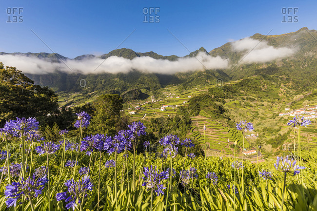 Portugal- Sao Vicente-Agapanthus flowers blooming in green summer valley with terraced fields in background