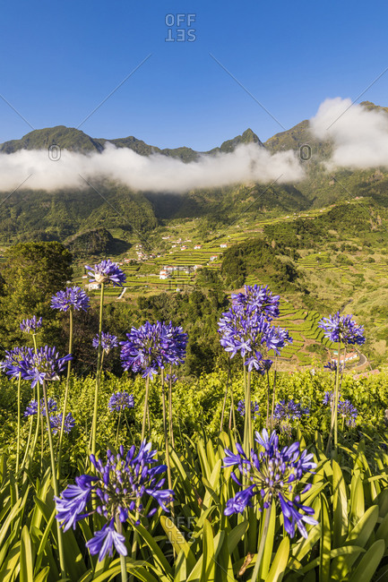 Portugal- Sao Vicente- Agapanthus flowers blooming in green summer valley with terraced fields in background
