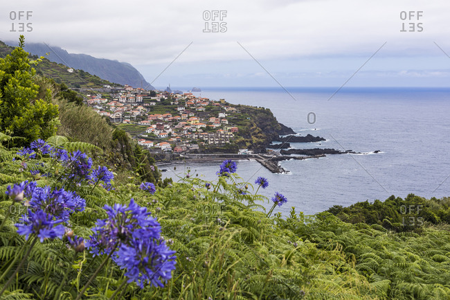 Portugal- Porto Moniz- Purple blooming wildflowers with coastal village in background