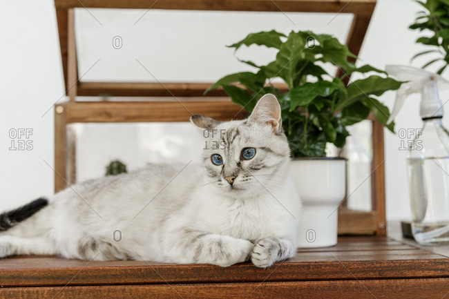 Cat with blue eyes lying on table