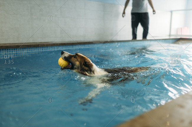 Border Collie carrying ball in mouth while swimming at physiotherapist center