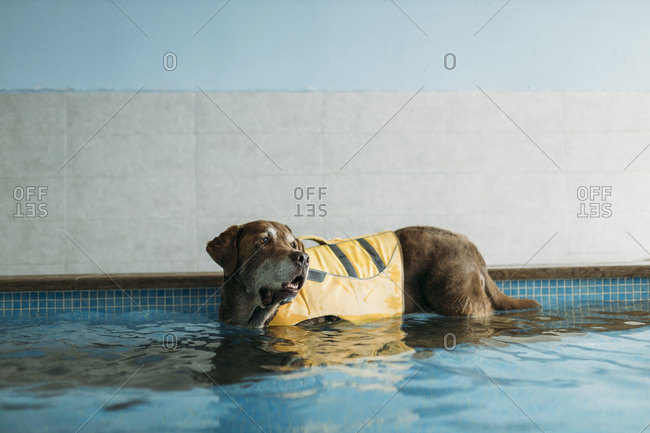 Brown Labrador Retriever wearing life jacket in swimming pool at physiotherapist center