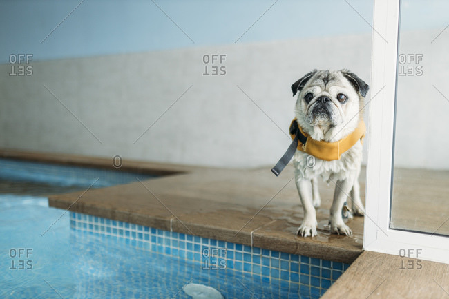 Pug dog wearing life jacket by swimming pool at physiotherapist center