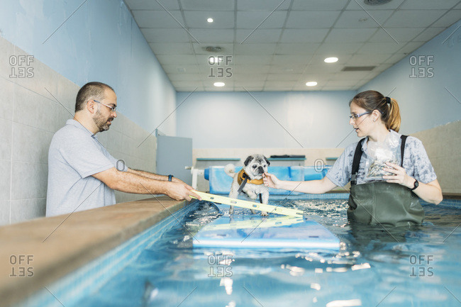 Physiotherapists training pug dog on inflatable raft in swimming pool at center