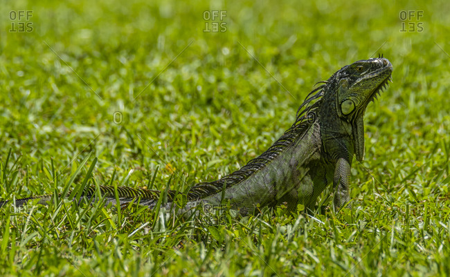 Young iguana sitting in grass